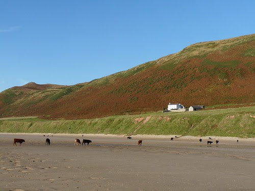 11577 - Cows on Rhossili Beach