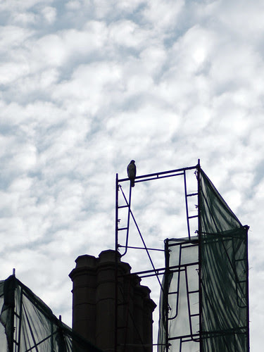 Divine Red-Tailed Hawk atop School Scaffolding