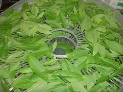 Fresh Lemon Verbena