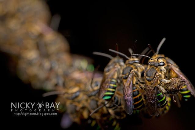 Sweat Bees sleeping (Halictidae) - DSC_2007