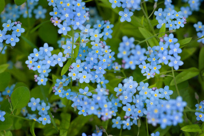 Forget Me Not Flower Meaning Flower Meaning