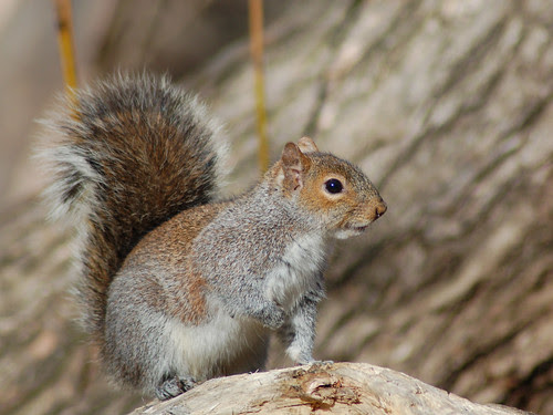 Gray Squirrel in Central Park Ravine