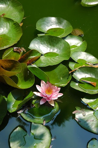 Lily Pool