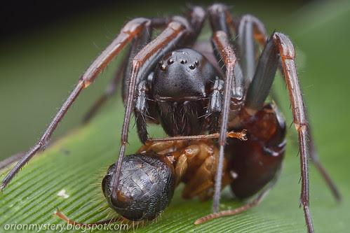 Zodariid ground spider with ant prey IMG_3810 copy