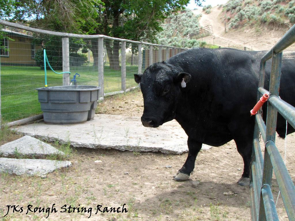 How do you Lead a Bull? 1/2
