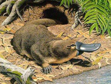 http://anakbebekbawel.files.wordpress.com/2008/05/evolution-platypus.jpg?w=374&h=285