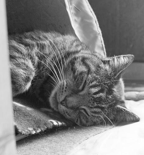 Wilbur the cat (sleeping)