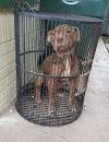Una esquelética perrita pitbull es abandonanda en un refugio dentro de una jaula para pájaros