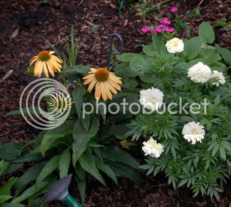Harvest Moon coneflower, white marigold