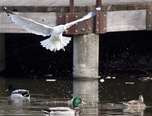 gull splashing
