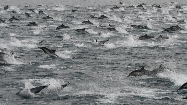 Thousands of Dolphins Seen Off Coast