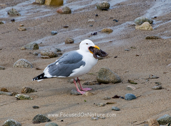 Gluttonous Seagull