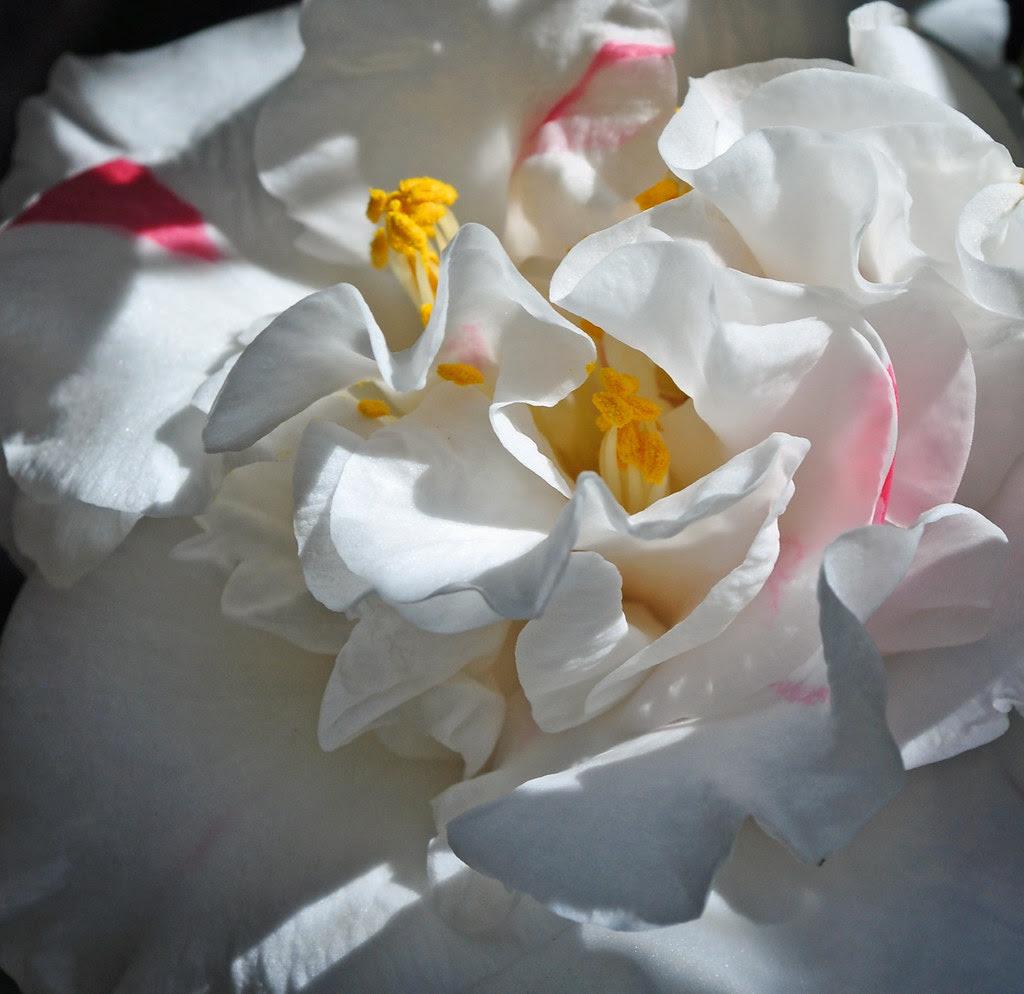 Camellia japonica 'Betty Shefield Supreme'