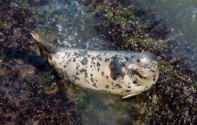 24902 - Seal at Worms Head, Gower