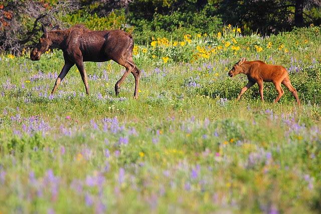 IMG_3595 Just Follow Mom, Glacier National Park