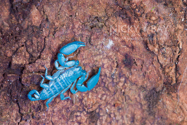 Scorpion (Liocheles australasiae?) - DSC_0733