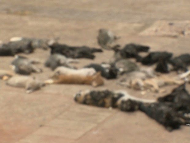 Morte de mais seis gatos é registrada e chama atenção de ativistas em SL (Foto: Reprodução/TV Mirante)