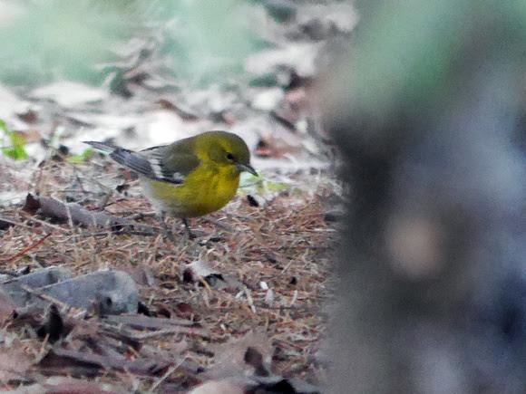 Ed Gaillard: birds &emdash; Pine Warbler, Flushing Meadow Park