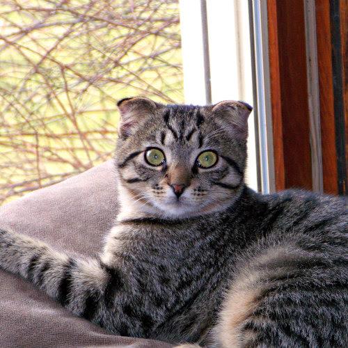 U K Vets Call For Ban On Designer Cat Breeding Petslady Com