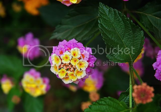 Lantana Closeup in Barcelona [enlarge]