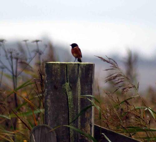 Stonechat, Otmoor Nature Reserve