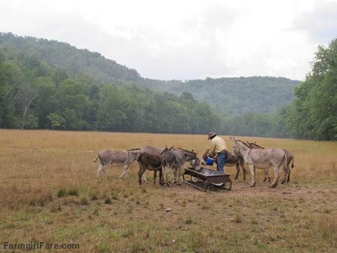 (8) Treat time in brown Donkeyland - FarmgirlFare.com