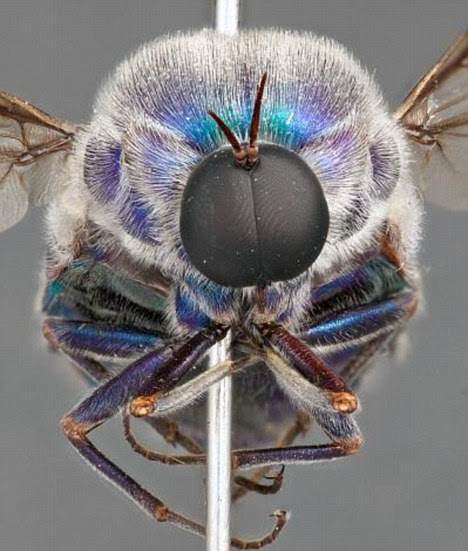 An Australian 'spider fly' - the maggot may live inside the spider for years, prolonging the life of the spider and preventing it from developing into an adult
