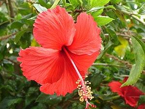 Red Hibiscus 'Psyche' in Chennai (Tamil Nadu) ...