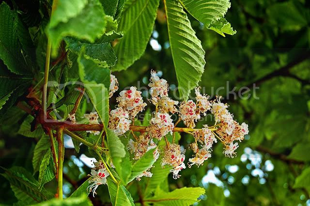 Barcelona Trees: Horse Chestnut or Conker Flowers  [enlarge]