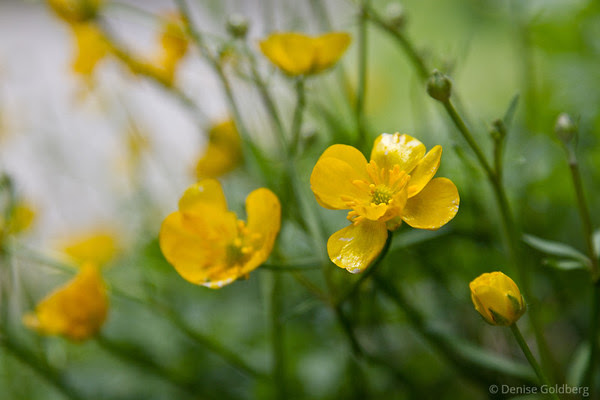buttercups, bright yellow and shining