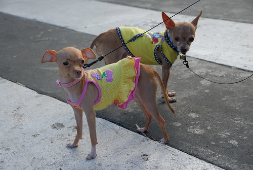 Coquetería canina en Miami