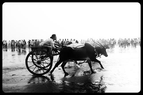 Bullock Cart Race Murud Janjira 2013 by firoze shakir photographerno1