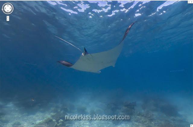 chasing manta ray