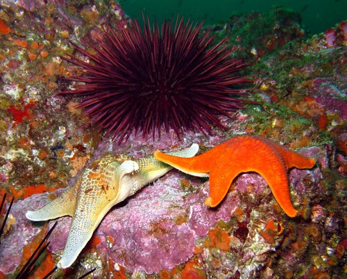 Bat-Stars-with-Red-Sea-Urchin