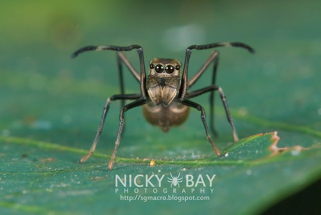 Ant-Mimic Jumping Spider (Salticidae) - DSC_6890