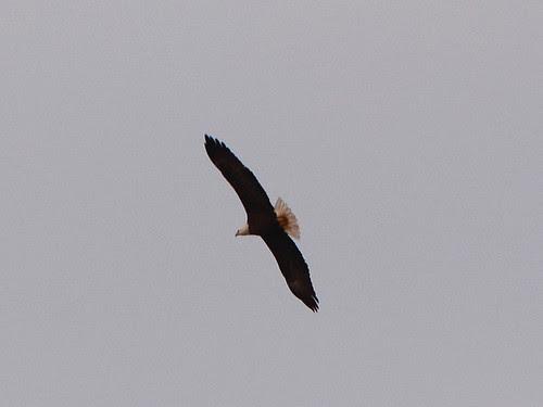 Bald Eagle (6290)