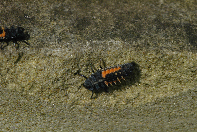 Harlequin larva [IGP7240]