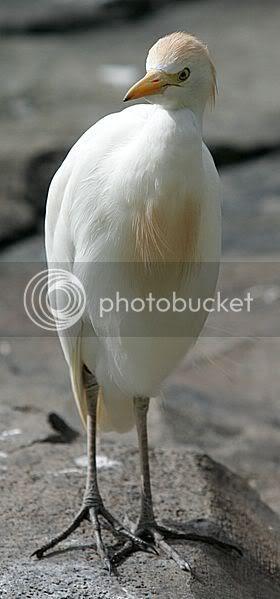 Wikipedia egret