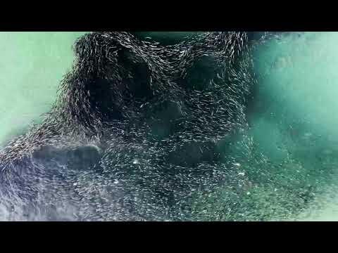 Massive School of Bunker Fish Spotted Off Long Island