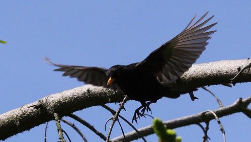 Blackbird in Flight