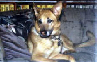 BUCHANANFPC PHOTO (LADY AMBER, GERMAN SHEPHARD -- Born: November 22, 1986 -- Died: January 18, 1997)
