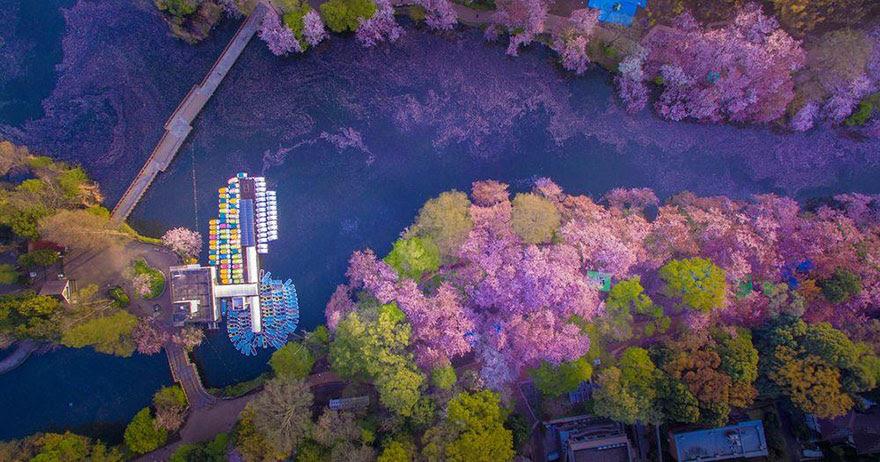e77cf9a9434d ΟΝΕΙΡΙΚΕΣ ΕΙΚΟΝΕΣ-κερασιές βάφουν ροζ μια λίμνη στην Ιαπωνία! -