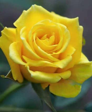 Rosas Amarillas Imágenes De Flores