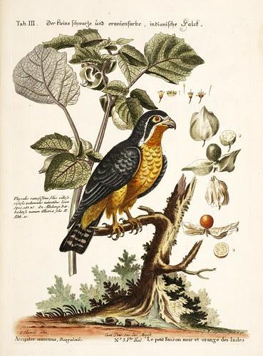 Le petit faucon noir et orange des Indes