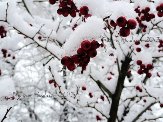 Beautiful,snow berries photo - 8 x 10 frame Print Art Photography