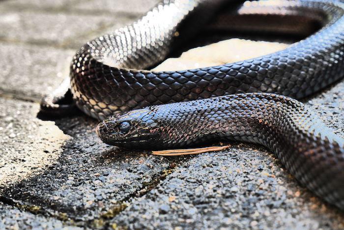 Black Snake Dream Dream Interpretation Symbols
