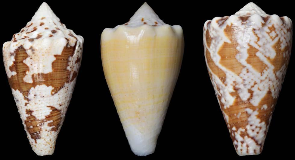 El 'Conus regius' vive en las aguas del Caribe y frente a las costas de América del Sur.
