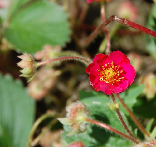 pink strawberrry flower