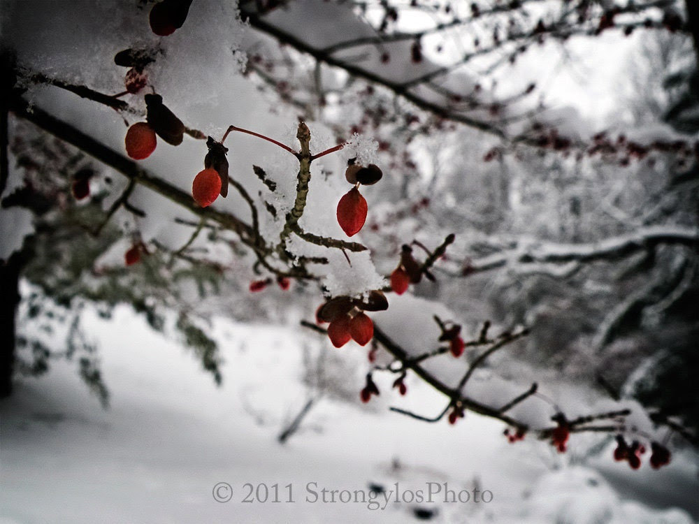 16 pack Peace on Earth greeting cards red berries snow holidays pack of 16 photo cards white snow - StrongylosPhoto