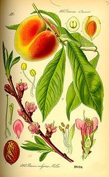 cvjetanje trešnje datira samce